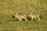 Black-Backed Jackal Photographic Print by Mary Ann McDonald