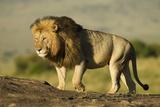 African Male Lion Papier Photo par Mary Ann McDonald