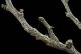 Gnophos Sp. (Annulet) - Caterpillar or Inchworm Camouflaged on Twig Photographic Print by Paul Starosta