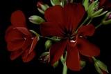 Pelargonium X Hederaefolium 'Solo' (Ivy-Leaf Geranium) Photographic Print by Paul Starosta