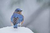 Merle bleu de l'Est Papier Photo par Gary Carter