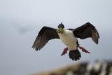 King Cormorant Photographic Print by Joe McDonald