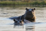 Hippopotamuses Photographic Print by Sergio Pitamitz