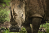 White Rhinoceros in Pilanesberg National Park Photographic Print by Jon Hicks