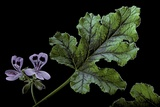 Pelargonium Quercifolium 'Royal Oak' (Oakleaf Geranium) Photographic Print by Paul Starosta