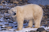 Polar Bear Standing on Rocks Photographic Print by  DLILLC