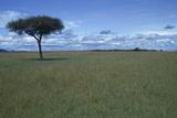 Acacia Tree on the Savanna Photographic Print by  DLILLC