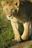 Lion dans la savane Papier Photo par Mary Ann McDonald