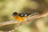 Black-Headed Grosbeak Photographic Print by Joe McDonald