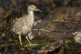 Black-Crowned Night Heron Photographic Print by Joe McDonald