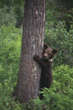 Grizzly Cub on Tree Photographic Print by  DLILLC