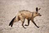 Bat-Eared Fox Running Photographic Print by Richard Du Toit