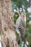 Northern Flicker Photographic Print by Gary Carter