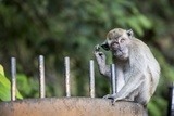 Long-Tailed Macaque at Batu Caves, Kuala Lumpur, Malaysia Photographic Print by Paul Souders