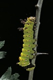 Eacles Imperialis (Imperial Moth) - Caterpillar Photographic Print by Paul Starosta