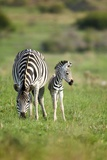 Zebra and Young Foal Photographic Print by Richard Du Toit
