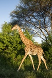 Giraffe, Kruger National Park, South Africa Photographic Print by Paul Souders