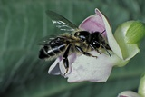 Apis Mellifera (Honey Bee) - Foraging on a Common Bean Flower Photographic Print by Paul Starosta