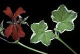Pelargonium X Hederaefolium 'Eveka' (Ivy-Leaf Geranium) Photographic Print by Paul Starosta