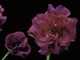 Pelargonium X Hederaefolium 'Rochefort' (Ivy-Leaf Geranium) Photographic Print by Paul Starosta
