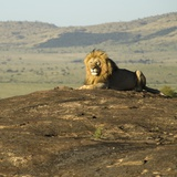 African Male Lion Photographic Print by Mary Ann McDonald