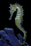 Hippocampus Kuda (Common Seahorse, Estuary Seahorse, Yellow Seahorse, Spotted Seahorse) Photographic Print by Paul Starosta