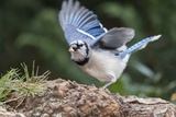 Blue Jay Photographic Print by Gary Carter