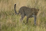 African Leopard Photographic Print by Mary Ann McDonald