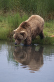 Grizzly Wading in Stream Photographic Print by  DLILLC