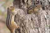 Chipmunk Photographic Print by Gary Carter