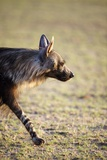 Brown Hyena Photographic Print by Richard Du Toit
