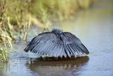 Black Heron Canopy Feeding Photographic Print by Richard Du Toit