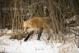 Red Fox Photographic Print by Joe McDonald
