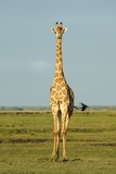 A Male Giraffe Photographic Print by Richard Du Toit