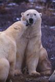Polar Bears Nuzzling Photographic Print by  DLILLC