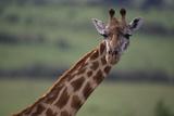 Reticulated Giraffe Photographic Print by  DLILLC