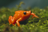 Orange Mantella Frog in Foliage Photographic Print by  DLILLC