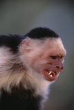 White-Faced Capuchin Snarling Photographic Print by  DLILLC