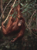 Orangutan Fotografisk tryk af  DLILLC