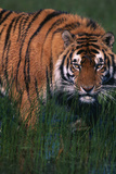 Bengal Tiger in Grass Photographic Print by  DLILLC