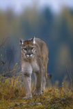 Cougar in Autumn Photographic Print by  DLILLC