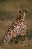 Cheetah with Cubs in Savannah Photographic Print by  DLILLC