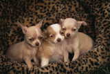 Chihuahua Puppies in Dog Bed Photographic Print by  DLILLC