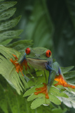 Red Eyed Tree Frog on Plant Photographic Print by  DLILLC