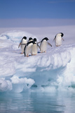 Adelie Penguins on Ice Floe next to Water Photographic Print by  DLILLC
