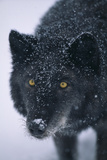 Black Gray Wolf in Snow Photographic Print by  DLILLC