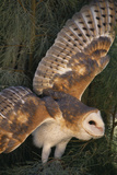 Barn Owl Photographic Print by  DLILLC