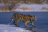 Siberian Tiger on Frozen Lake Photographic Print by  DLILLC