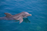Bottlenosed Dolphin Swimming Photographic Print by  DLILLC