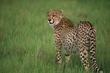 Cheetah Standing in Grass Photographic Print by  DLILLC
